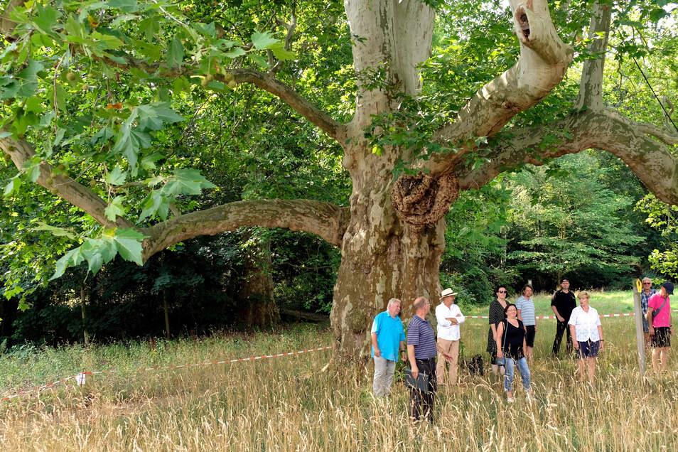 Am Wochenende trafen sich knapp ein Dutzend Meißner Naturfreunde, um für den Erhalt der Platane im Schlosspark Siebeneichen zu demonstrieren.