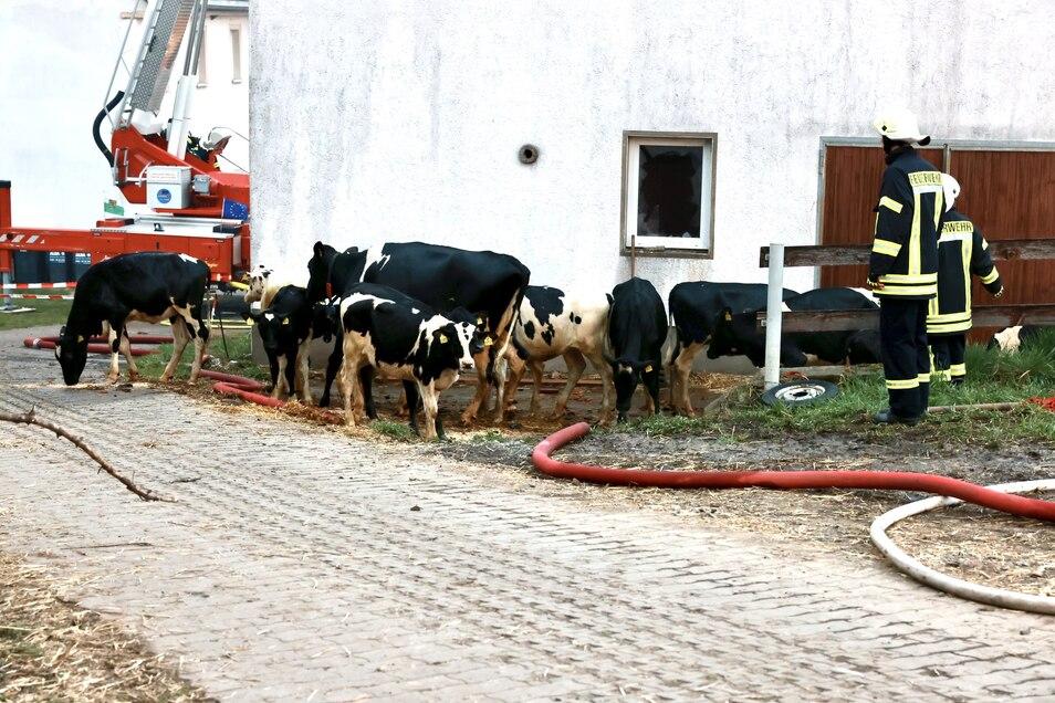 Kühe stehen vor dem Stallgebäude beim Großeinsatz der Feuerwehr bei Glashütte.