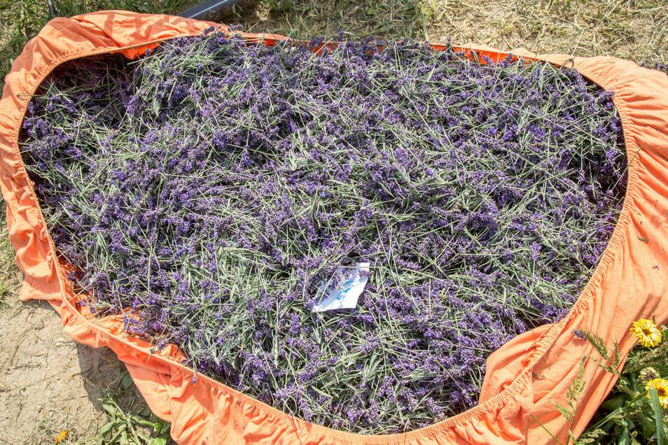 Insgesamt 400 Kilo wiegt die erste Ernte des Lavendelfeldes in See. In einem nächsten Schritt soll daraus Öl gewonnen werden.
