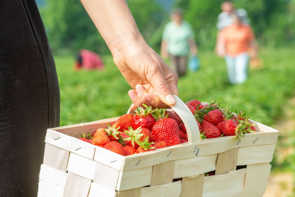 Von Anfang Juni bis Ende Juli geht in etwa die Erntesaison auf den Erdbeerfeldern um Sörnewitz. Bei vielen ist die Selbstpflücke beliebt, weil man dann buchstäblich weiß, was man im Körbchen hat.
