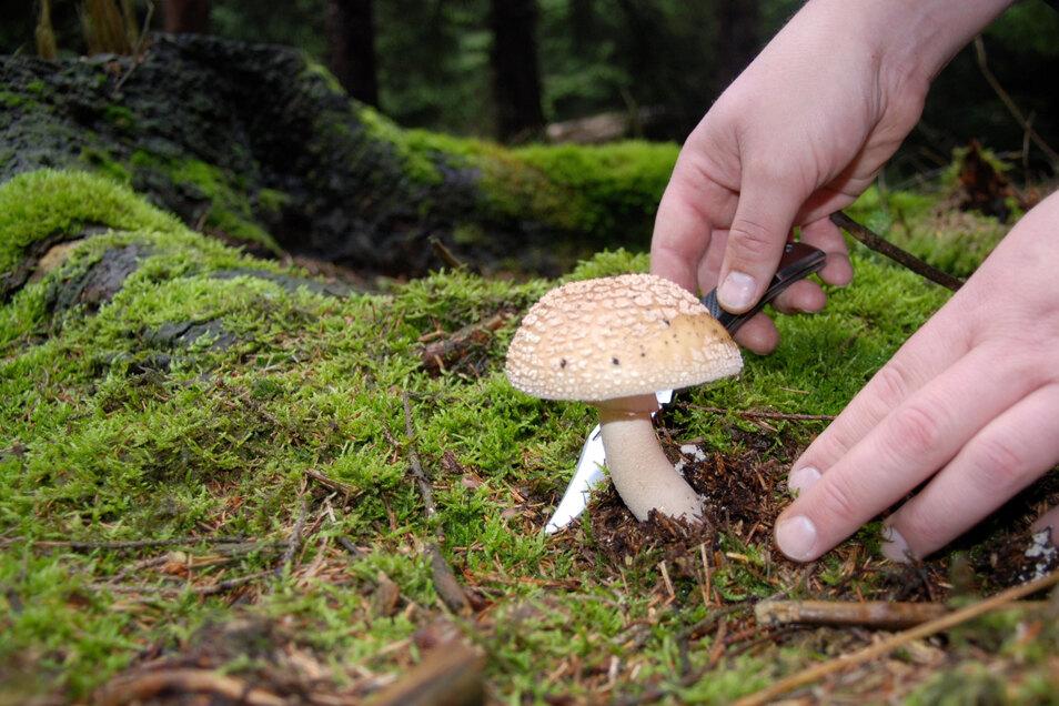 Geübte Pilzsammler erkennen den Perlpilz. Er gilt als wohlschmeckender Speisepilz.