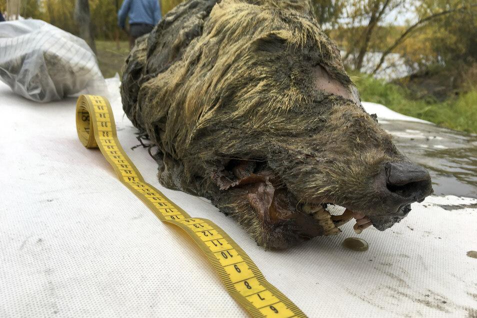 Der Kopf des eiszeitlichen Wolfes.