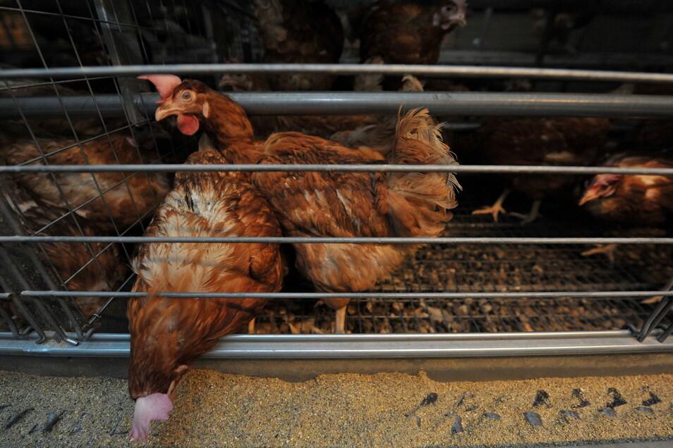Legehennen picken auf einem Hühnerhof Futter durch die Käfigstäbe. Auch viele Schweine, Kälbchen, Kaninchen oder Enten leben in Käfigen.
