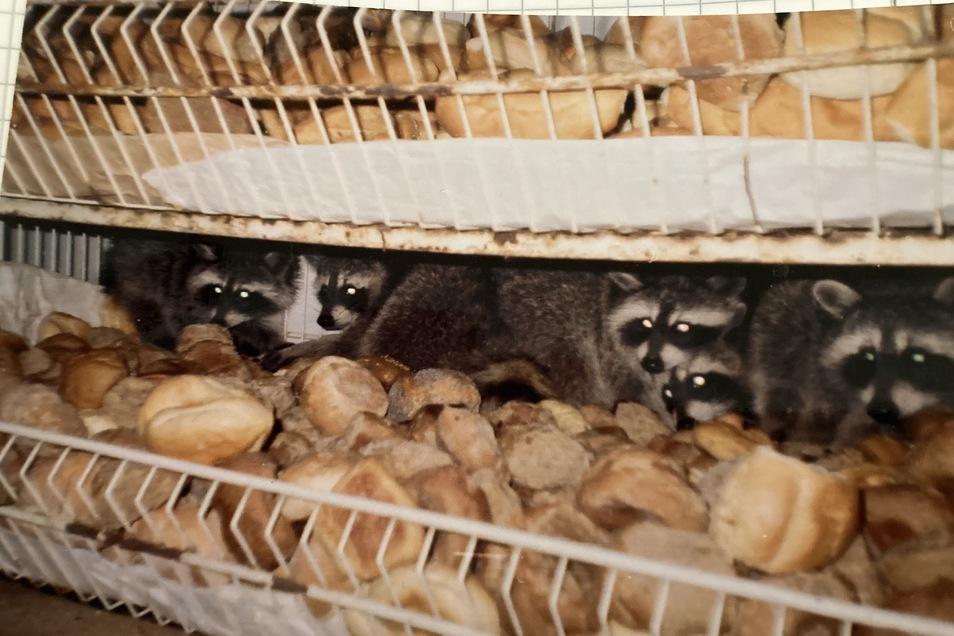 """Waschbären fühlen sich wohl in der Kammer mit dem trockenen Brot für Hängebauchschwein """"Elvis""""."""