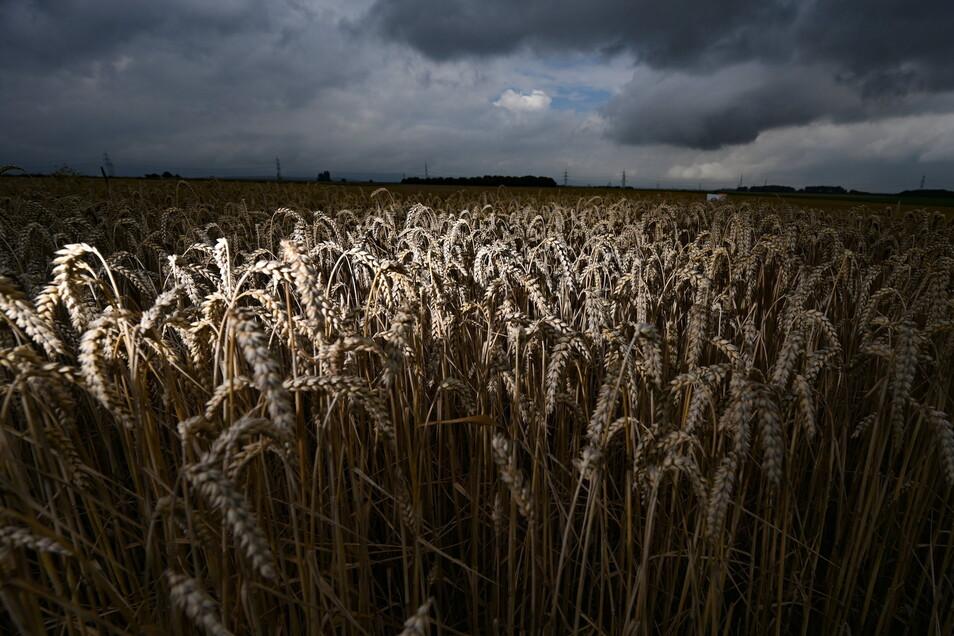 Regen gab es in diesem Jahr reichlich, aber auch Kälte im Frühjahr, durch die sich einige Kulturen zum Teil verzögert entwickelt haben. Trotzdem wird mit einer guten Getreideernte gerechnet.