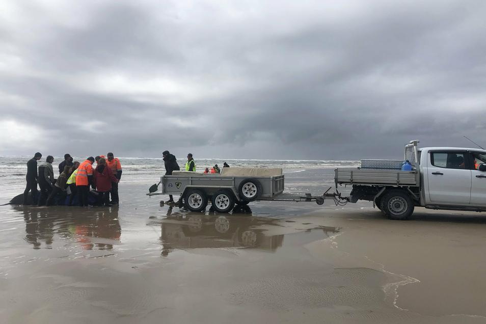 Etwa 70 Grindwale konnten Helfer an der Küste Tasmaniens retten. Hunderte Tiere sind jedoch bereits verendet.