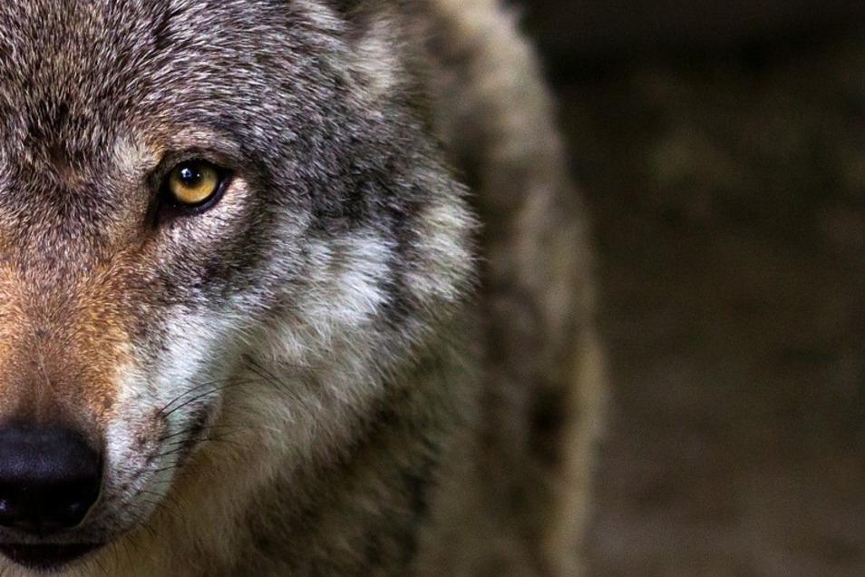 Wölfe sind beeindruckend, aber nicht nur in der Lausitz ein Reizthema.