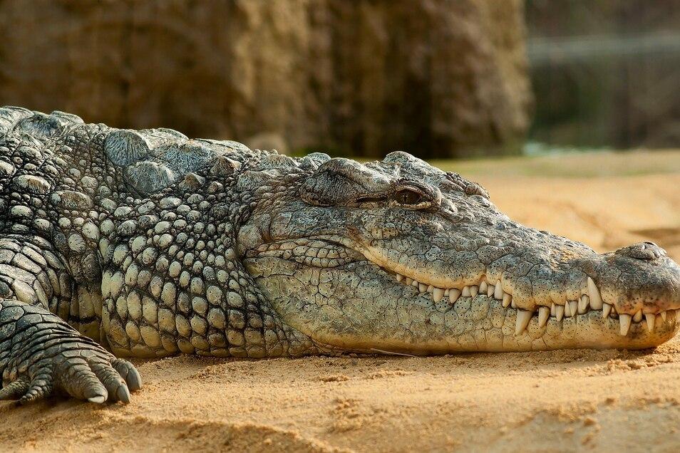 Ein Australier hat einen Krokodilangriff leicht verletzt überlebt (Symbolbild).