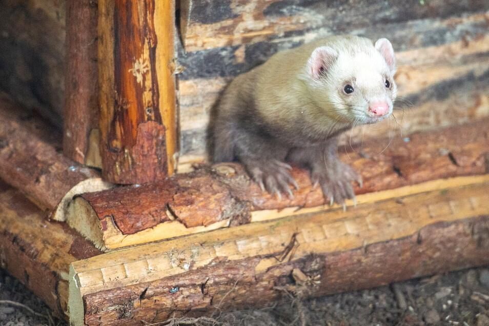 Das neue Zuhause der beiden kleinen Raubtiere ist abwechslungsreich eingerichtet. Sie haben viele Möglichkeiten zum Erkunden und Verstecken.