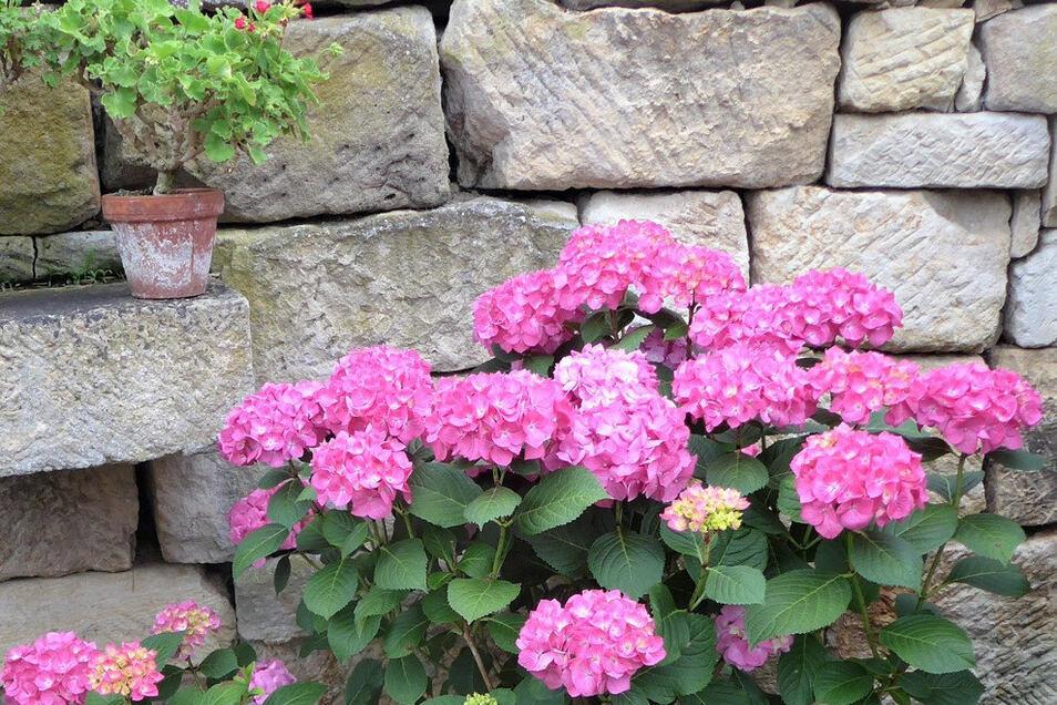 Hortensienschau am Landschloss Zuschendorf: 500 Arten und Sorten sorgen für üppige Blütenpracht.