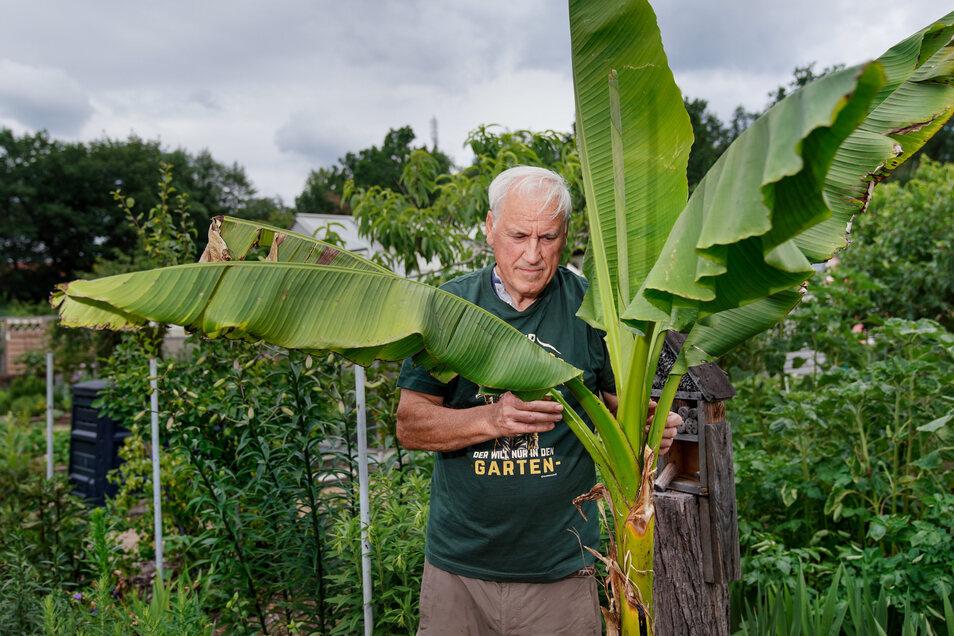 Kleingärtner Paul Rakow ist stolz auf seine Bananenstaude.