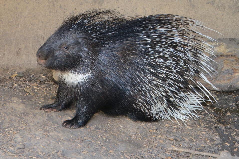 Nordafrikanische Stachelschweine, wie hier in Meißen, sind nicht mehr so häufig in Tierparks zu sehen.
