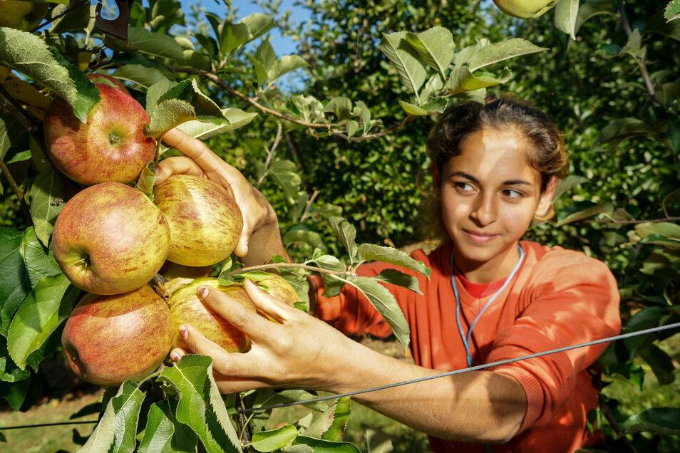 Daniela (19) aus Rumänien pflückt am Dienstag auf einer Plantage von Obstbau Stolle in Schirgiswalde Äpfel der Sorte Jonagold. Die Ernte fällt in diesem Jahr schlechter aus als in früheren Jahren.