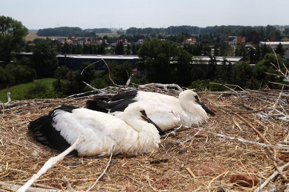 So sah es im Sommer 2019 in einem Storchenhorst in Strehla aus. Die Chancen auf ein gutes Jahr für die Vögel stehen gut.