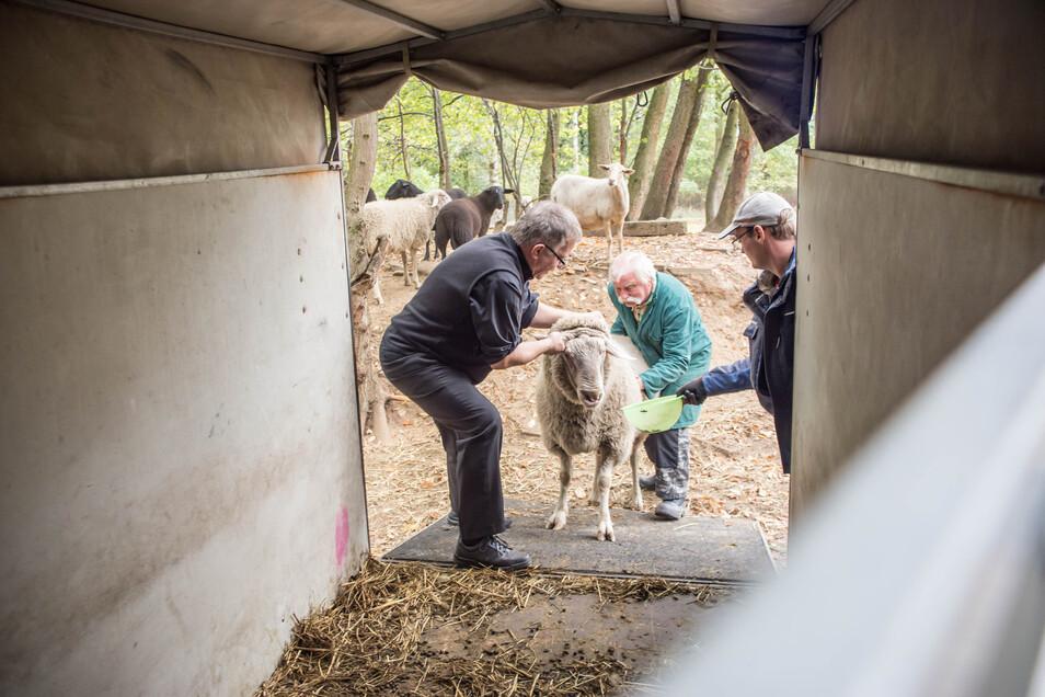 Abschied der Schafe vom Rothenburger Pfarrhof. Als der Wolf den Bestand in der Naturschutzstation Förstgen dezimierte, sagte Krystian Burczek sofort Hlfe zu und verschenkte die kleine Herde.
