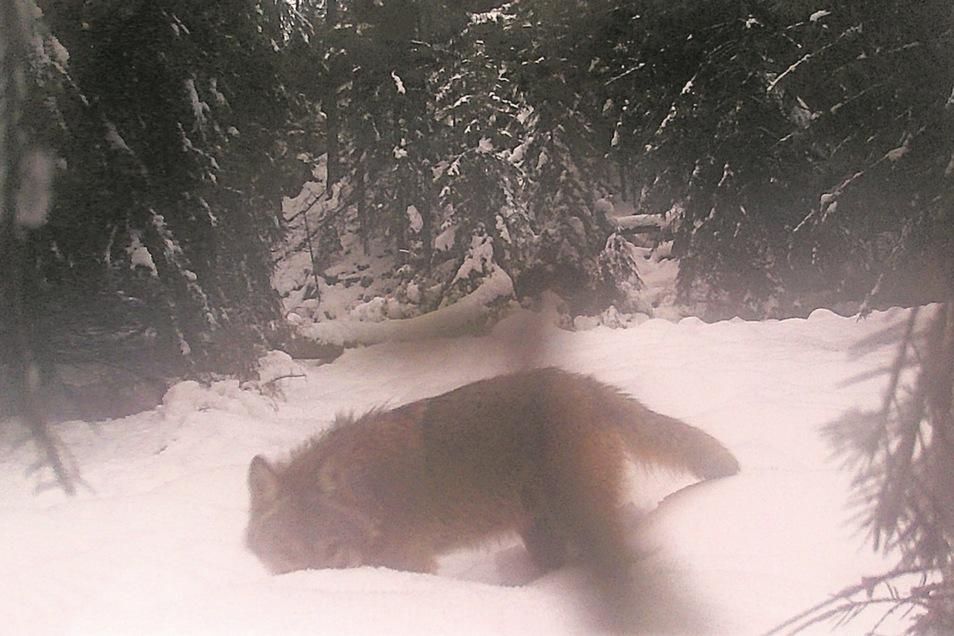 Der junge Wolf in der Böhmischen Schweiz hatte besonderes Interesse an der Fotofalle.