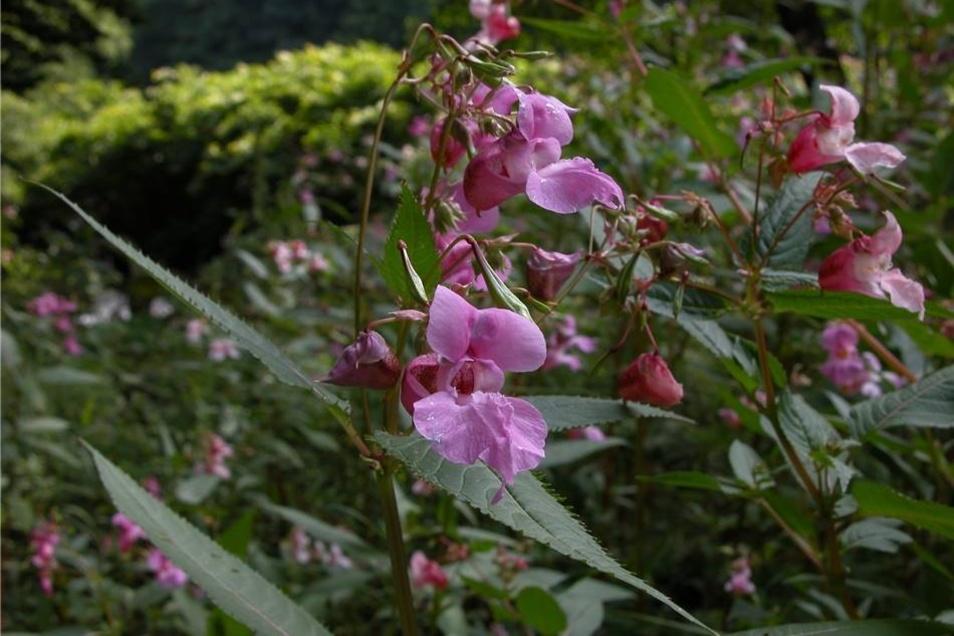 Drüsiges Springkraut Die eingewanderte Pflanze wurde schon im 19. Jahrhundert an der Elbe entdeckt und breitet sich seitdem aus.