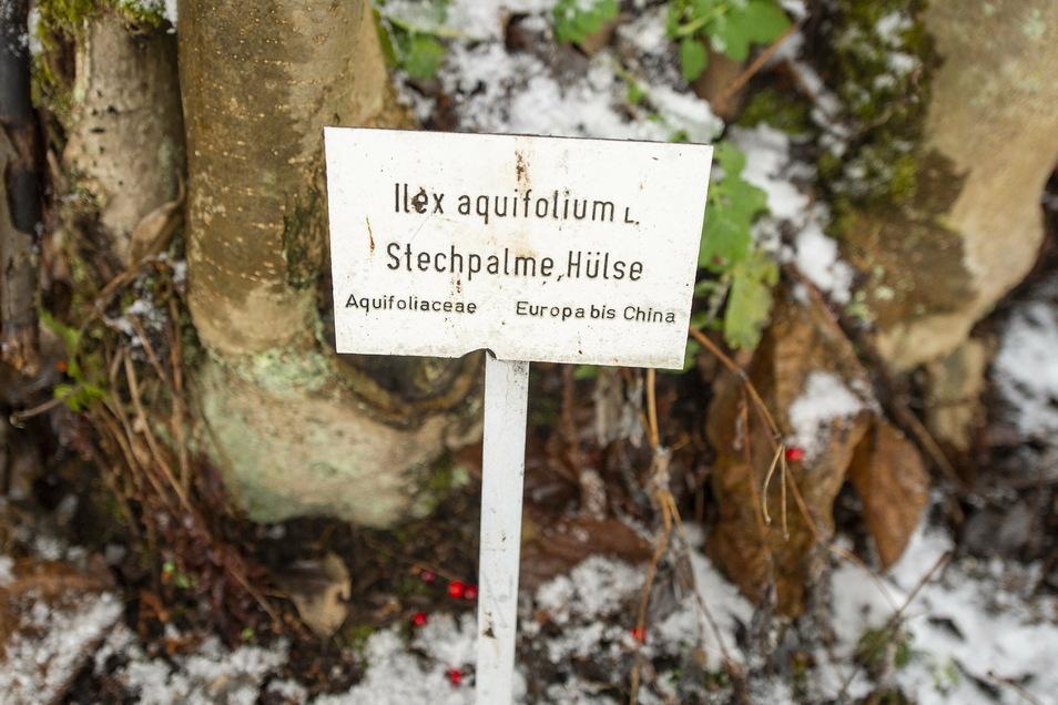 Ein Baum, viele Namen: Die Europäische Stechpalme wird im Nordwesten Deutschlands, wo sie weit häufiger vorkommt als in Sachsen, Hülse genannt.