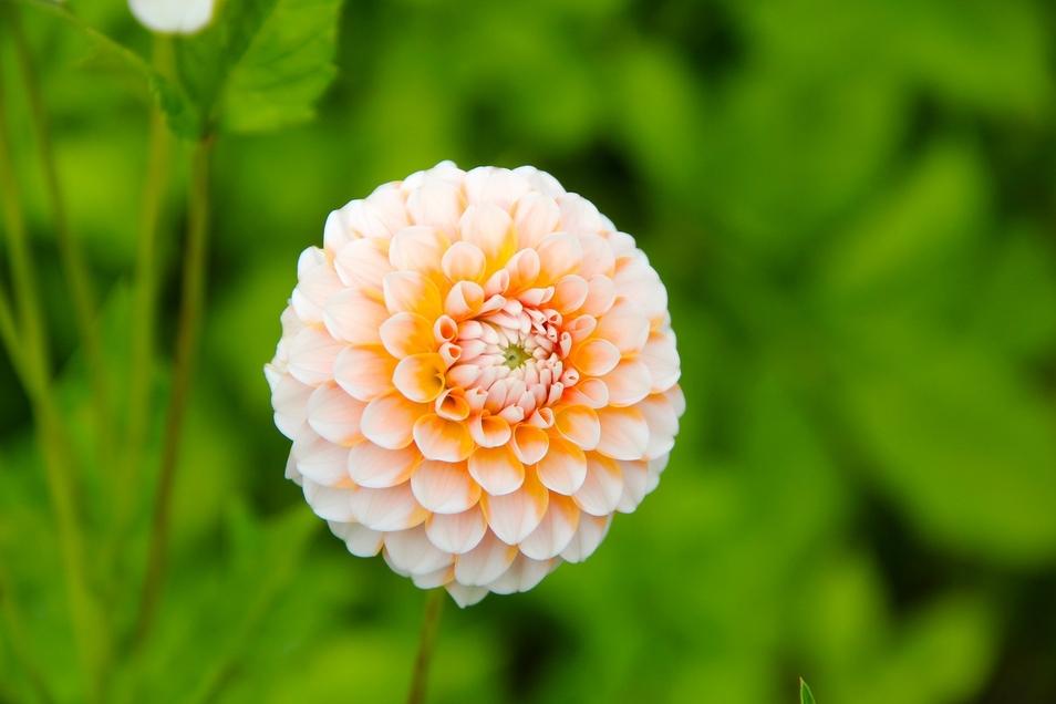 Dahlien sind Blickfang in jedem Blumengarten.