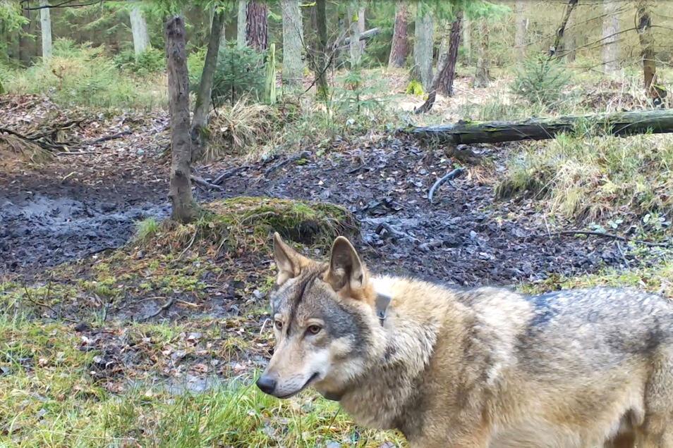 """Wolf """"Hans"""" wurde im Januar wieder in die Freiheit entlassen. In Görlitz hatte er für Aufsehen gesorgt, weil er durch ein Kellerfenster gesprungen war und von einem Tierarzt betäubt werden musste."""