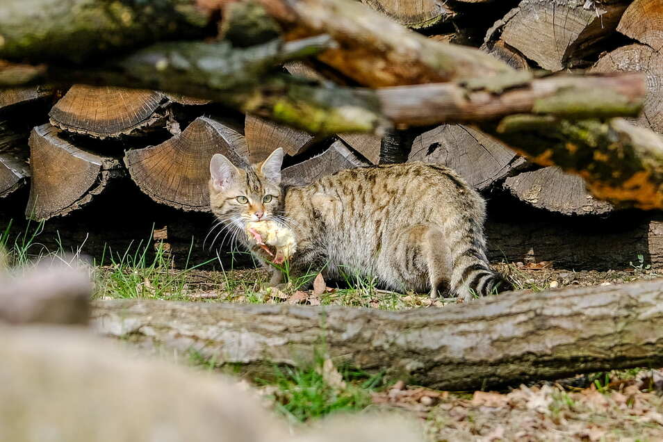 Futter gefunden. Die offenbar Neugierigste der drei neuen Wildkatzen hat sich zuerst aus ihrer Deckung getraut und eines der toten Küken in der großen Anlage im Wildgehege Moritzburg entdeckt.
