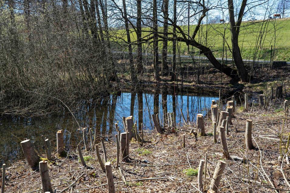 Der alte Gondelteich im Waldbad Polenz soll wieder ein Biotop werden.