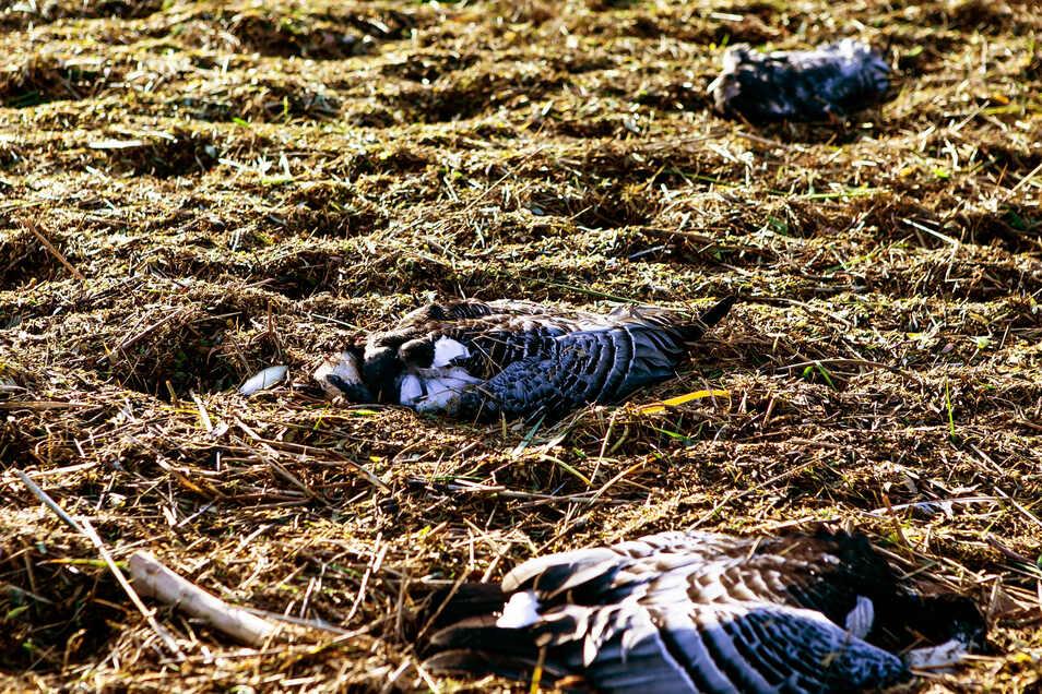 Tote Nonnengänse liegen hinter einem Deich. Es ist naheliegend, dass sie an der Vogelgrippe gestorben sind.