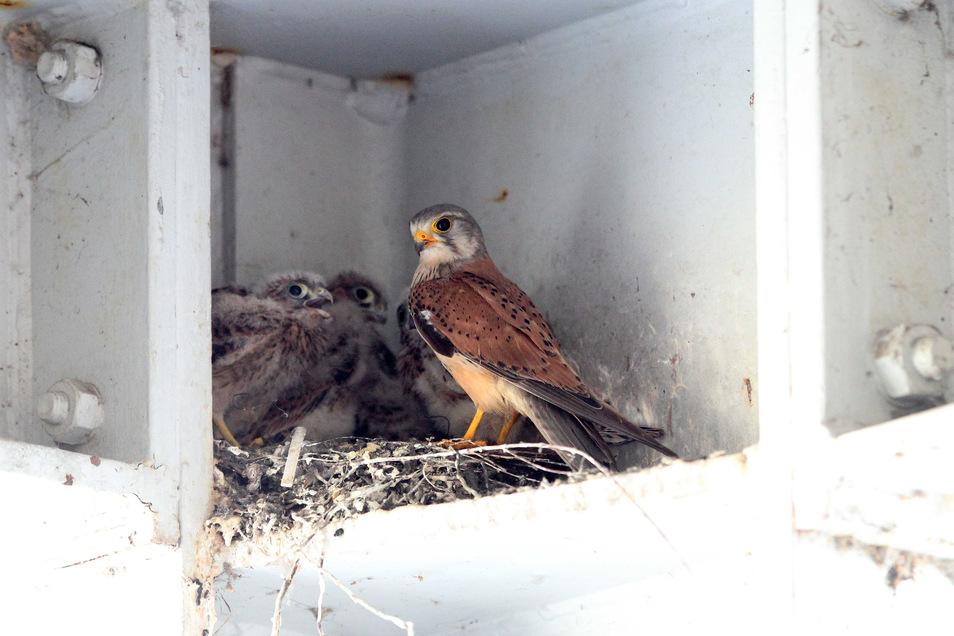 So sieht ein stolzer Turmfalke mit seinen Jungen aus. Dieser hatte auf dem Werksgelände von Wacker Chemie in Nünchritz ein Nest gefunden.