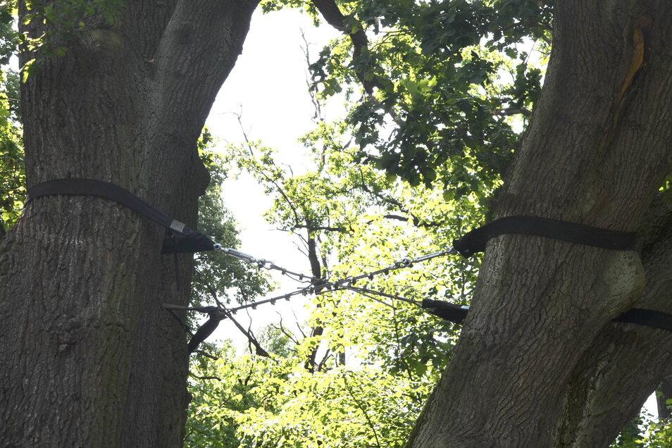 Mit Stahlseilen wurde der Baum nun gesichert.