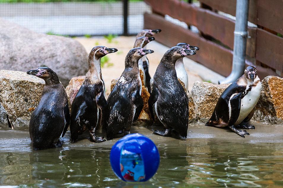 Acht von zehn – zur Begrüßung hatte Tierpflegerin Carolin Adler den Pinguinen einen Wasserball ins Bassin geworfen. Auch Tiere spielen gern.