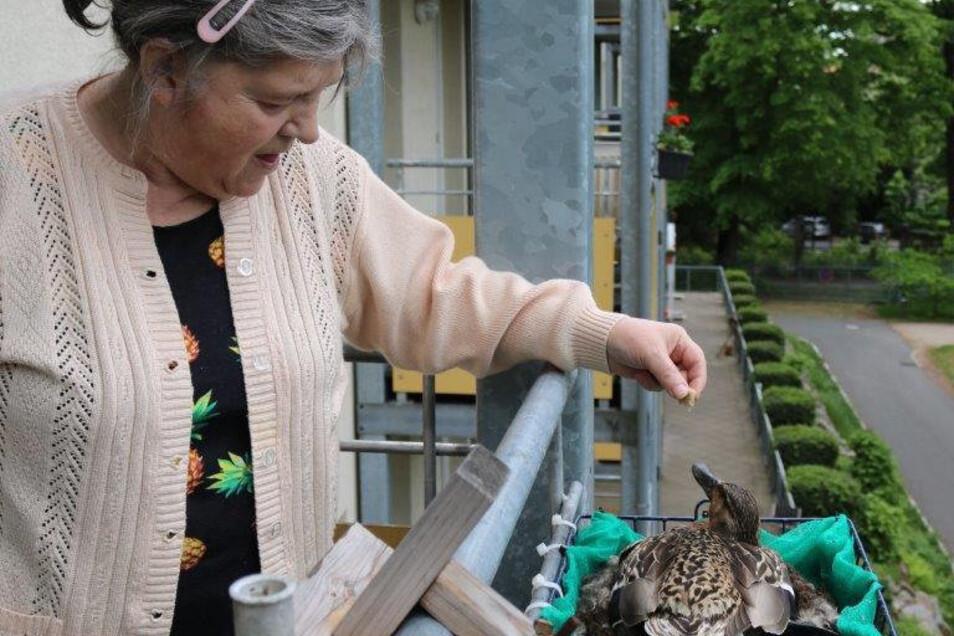 """Bewohnerin Ute Glitzky füttert die brütende Stockente auf ihrem Balkon im Seniorenzentrum """"Am Stadtpark"""" im Görlitzer Ständehaus."""
