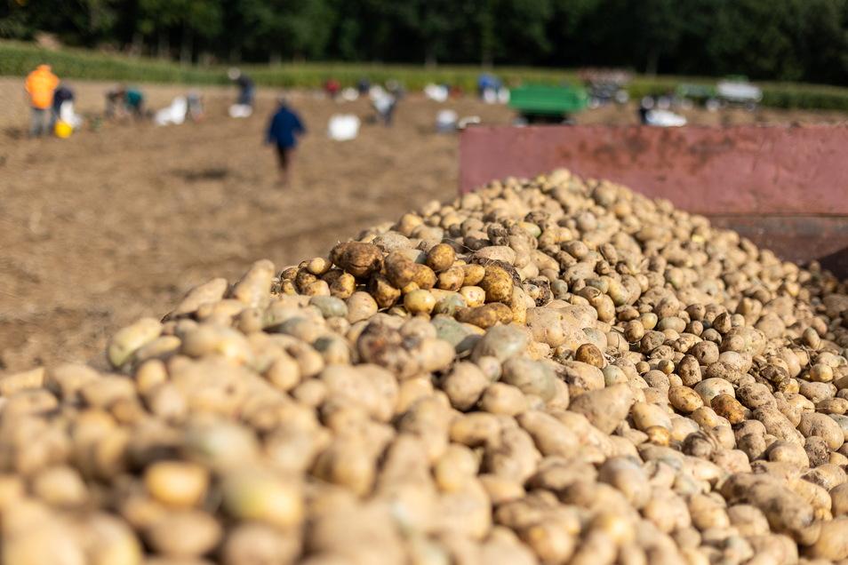 Schon am vergangenen Freitag und Sonnabend organisierte die Reinholdshainer Agrargenossenschaft eine Kartoffellese. Doch es sind noch genügend da für einen neuen Termin.