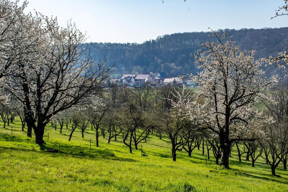 Auf fast sechs Hektar Fläche bewirtschaftet eine Klosterbucher Familie alte Obstbäume. Die eigene Streuobstwiese am Rande Klosterbuchs öffnet sie ab Freitag für etwa einen Monat für Besucher.