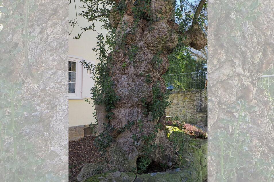Die dickste Stechpalme Deutschlands mit 2,90 Metern Umfang, geschätztes Alter 270 Jahre, fotografierte Andreas Roloff in Braunfels, Hessen.