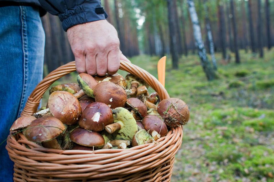 Manchmal finden Pilzsammler im Wald mehr als ihnen lieb ist. Zum Beispiel Leichen. Für die Ermittler ist das ein Glücksfall.  Dadurch wurden in Deutschland schon einige Morde aufgeklärt.