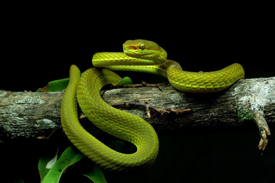 Eine neu entedeckte Schlange wurde von Forschern Trimeresurus salazar, nach Salazar Slytherin aus «Harry Potter», benannt.