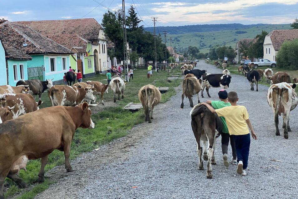 Am frühen Morgen holen die Hirten die Kühe der Dorfbewohner ab, in den Abendstunden treiben sie das Vieh von der Weide wieder zurück in den Ort.