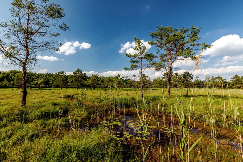 Ins Heidemoor führt ein vom Naturschutz angelegter Holzsteg.