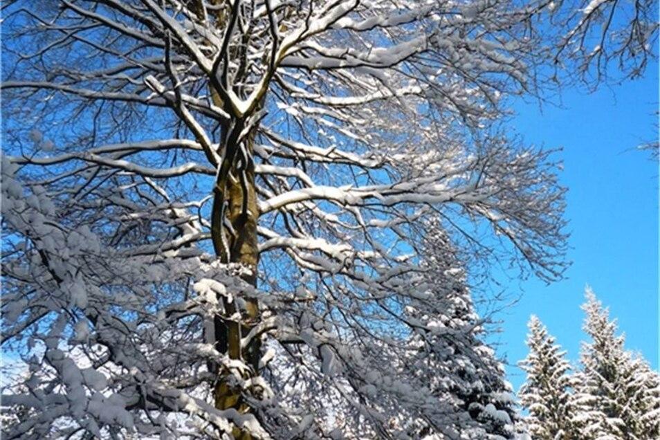 Neuhermsdorf/Holzhau. Birgit Weidlich war bei einer Skiwanderung am zweiten Januarwochenende von diesem Baum fasziniert.