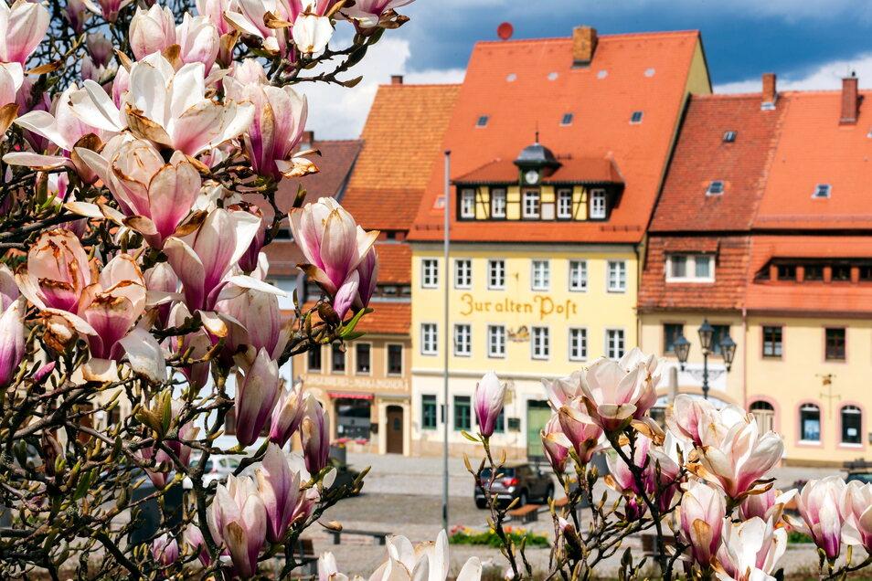 Die Magnolie am Stolpener Markt - eine vergängliche Schönheit.
