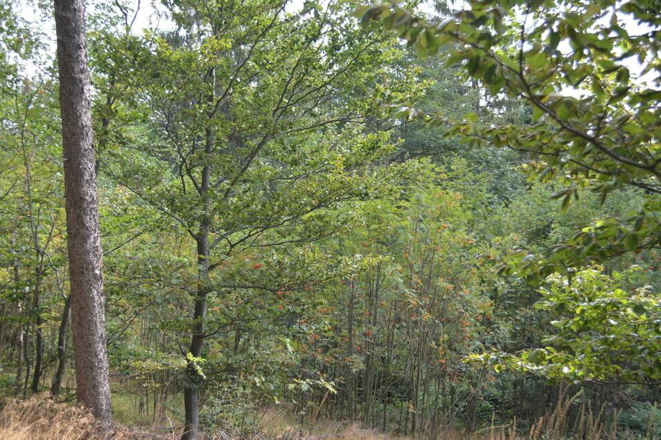 Die Bürgerinitiative in Waldidylle fotografierte im Sommer 2020 einen artenreichen Mischwald auf dem Grundstück. Die Mitglieder verstehen nicht, warum er als Fichten-Reinbestand eingeordnet wird.