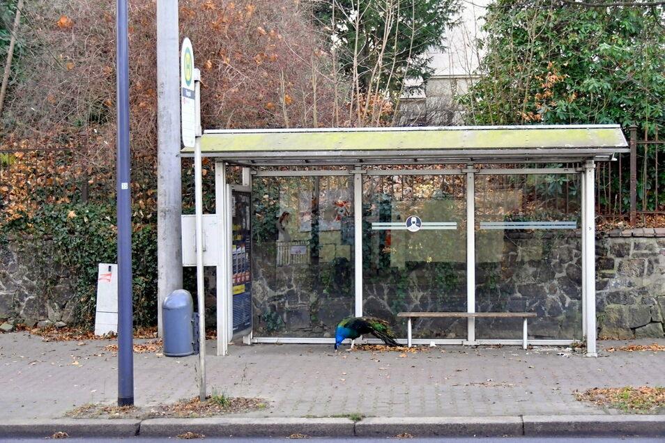 Pfau wartet auf Straßenbahn - oder auch nicht. Der Tierparkbewohner hatte Montag jedenfalls sein Domizil verlassen.