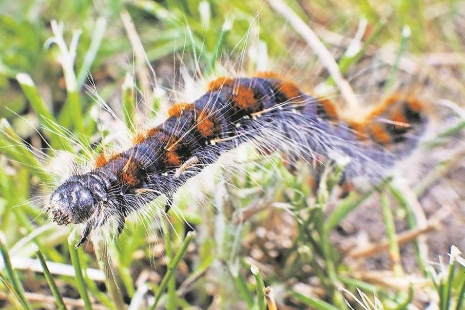 Die kleinen Haare der Raupen sind besonders gefährlich. Fast fünf Zentimeter sind die Raupen lang.