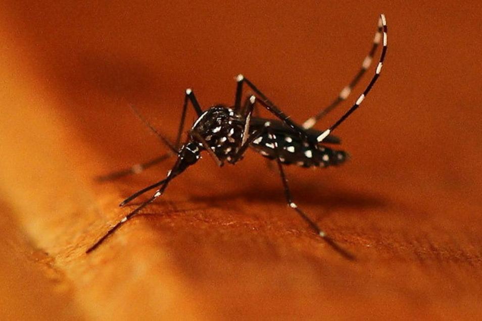 Asiatische Tigermücke: Die etwa 0,9 Zentimeter große Mücke ist ein schlechter Flieger, meidet Wind und hält sich bodennah auf. Sticht mit Vorliebe Menschen.