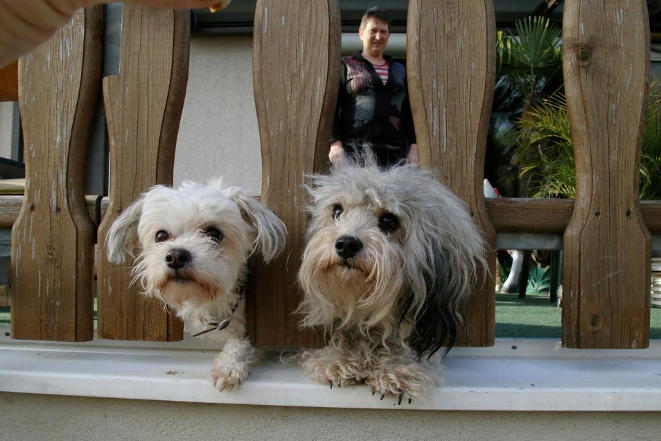 """Ein Beispielfoto: Zwei Hunde der Rasse """"Bolonka Zwetna""""."""