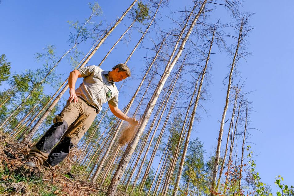 Der trockene Waldboden rieselt dem Moritzburger Staatswald-Revierleiter Marko Groß durch die Finger. Die durch den Wassermangel der vergangenen beiden Jahre vertrockneten jungen Kiefern würden einem Feuer zusätzlich Nahrung bieten.