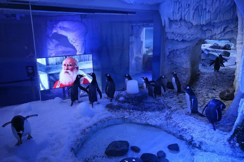 Statt Besucher schauen die Pinguine im Londoner Sea-LIfe Weihnachtsfilme an.