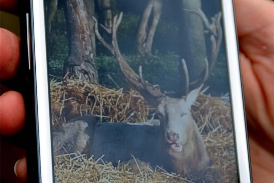 Der weiße Hirsch war eine Attraktion des Wildgeheges. Möglicherweise fiel er skrupellosen Trophäensammlern zum Opfer.