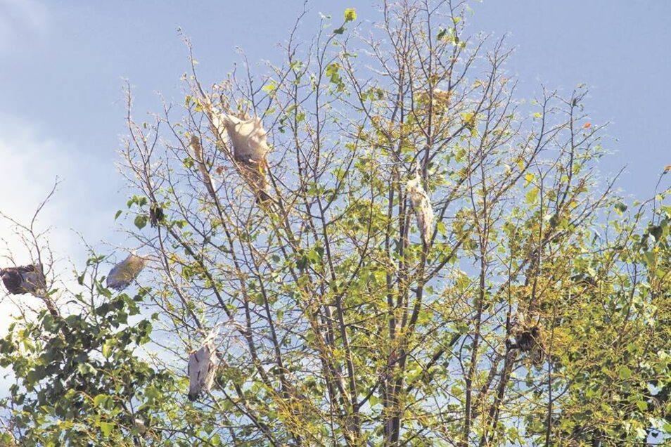Die Bäume an der Geldroper Straße in Ottendorf sind mit den Nestern der Raupen übersät.