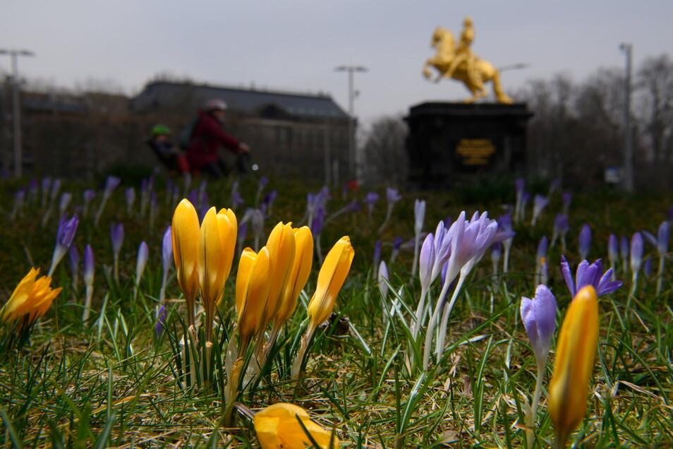 Krokusse auf der Wiese vor dem Goldenen Reiter in Dresden